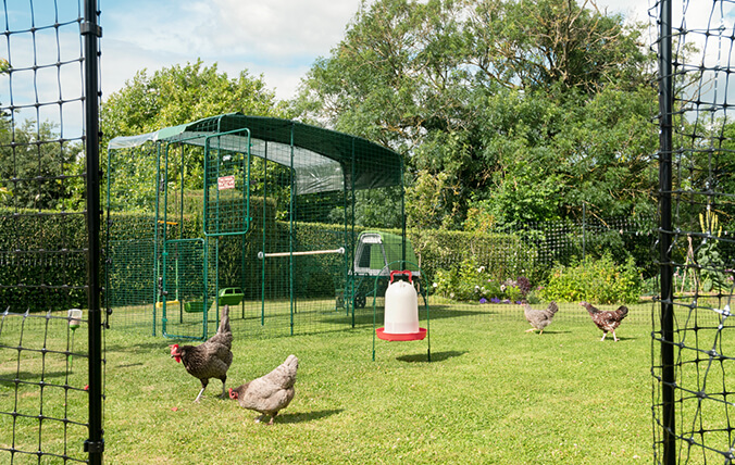 Chickens enjoying the garden outside the Walk In Enclosure.