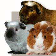 Meerschweinchen-Rassen