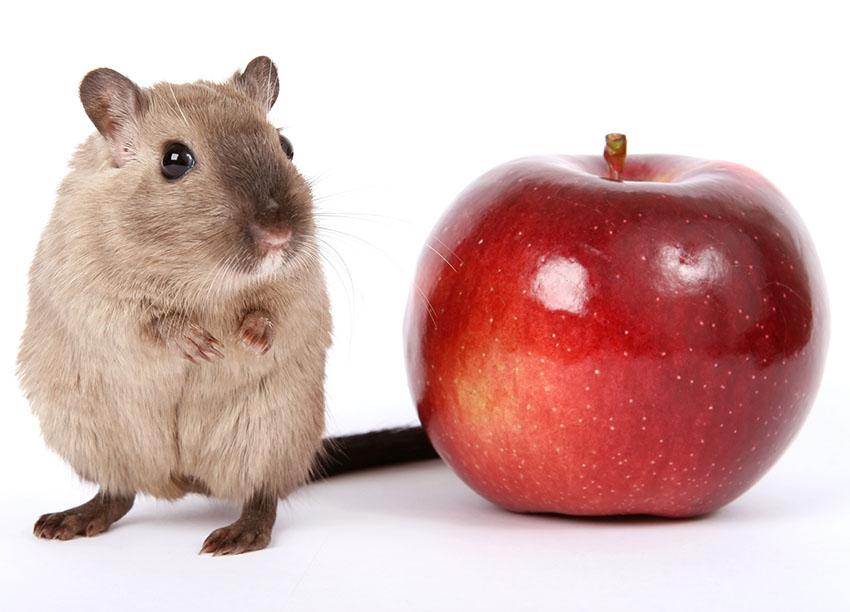 gerbil fruit eat