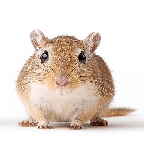 capture gerbil