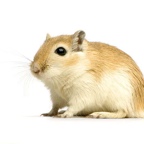 gerbil illnesses
