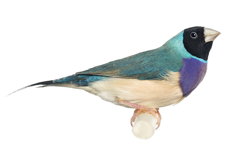 Gouldian finch with blue colouring