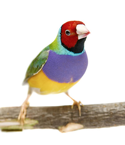 Other Pet Finches | Other Pet Finches | Finches and Canaries | Guide