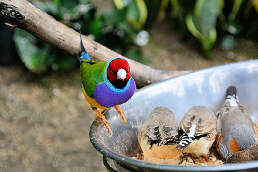 Gouldian finches and Zebra finches feeding