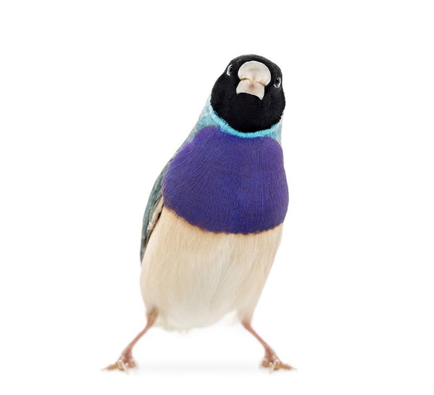 Blue Gouldian Finch