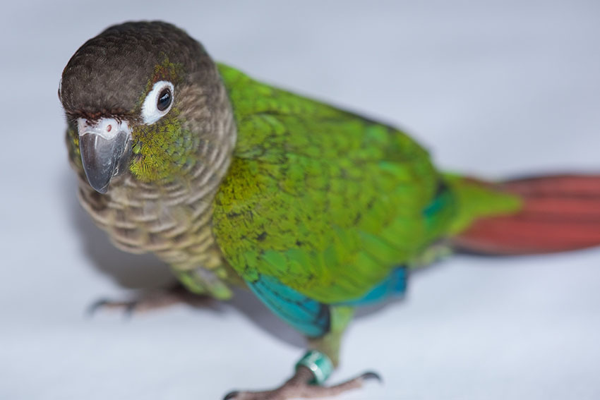 Green-cheeked conure chick at three month old