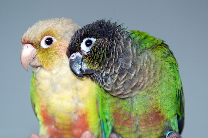 Green-cheeked conure and cinnamon mutation