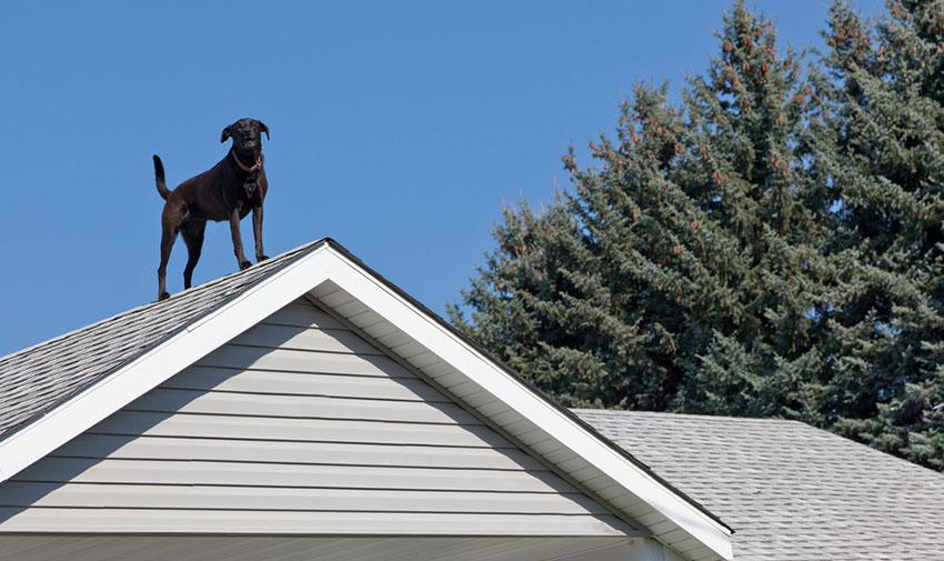 Guard dog black labrador on rooftop guarding house