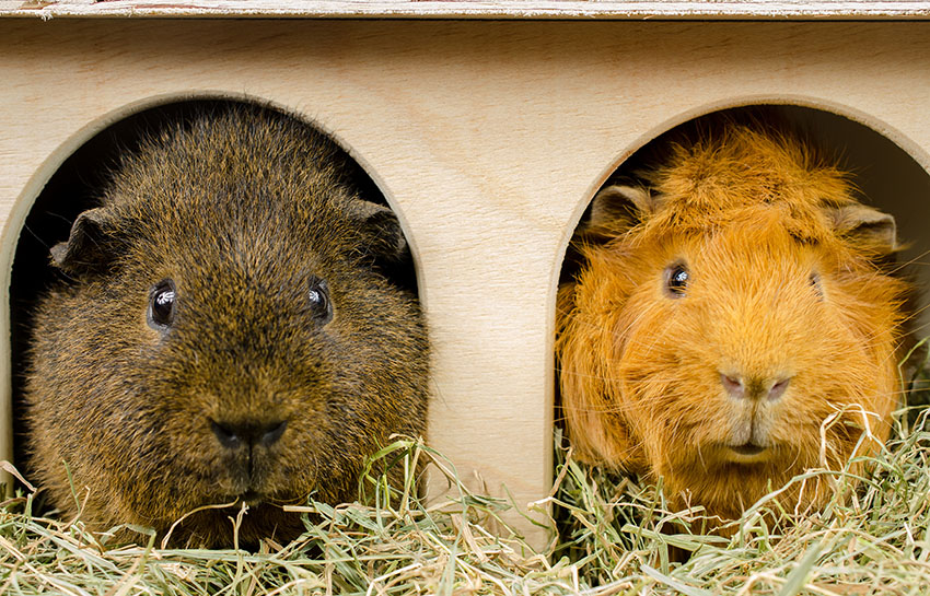 Guinea pig chums in hay box