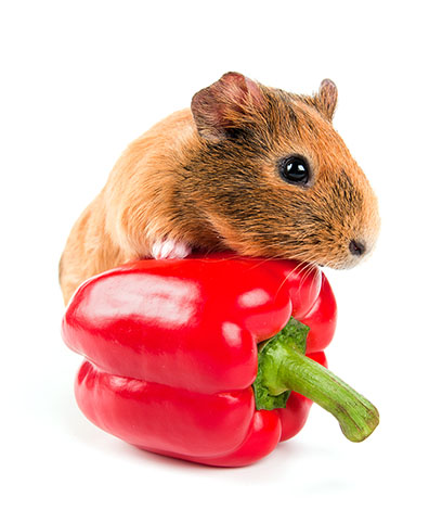 Guinea pig eating a pepper