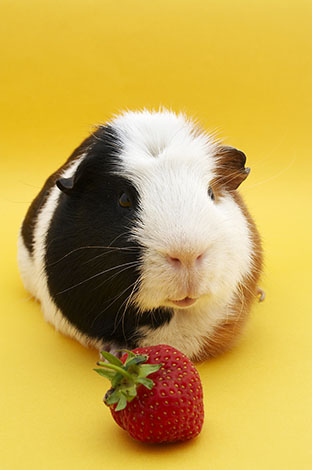 Guinea pig eating a strawberry