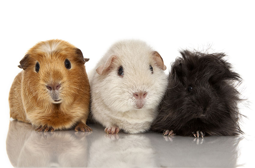 Guinea pig group basic colours