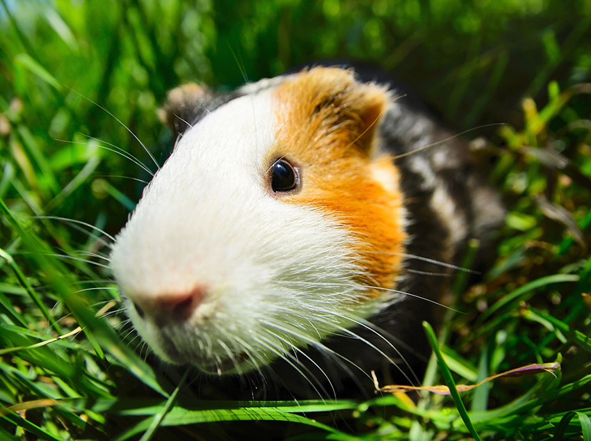 Guinea pig investigating the camera