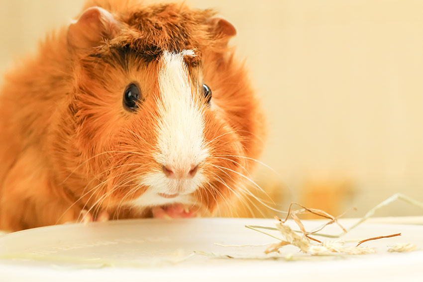 guinea pig on some towel