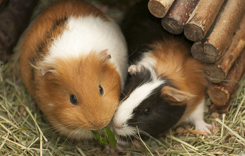 guinea pigs eating together