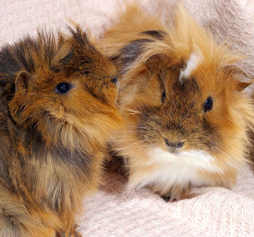 Guinea pigs indoors