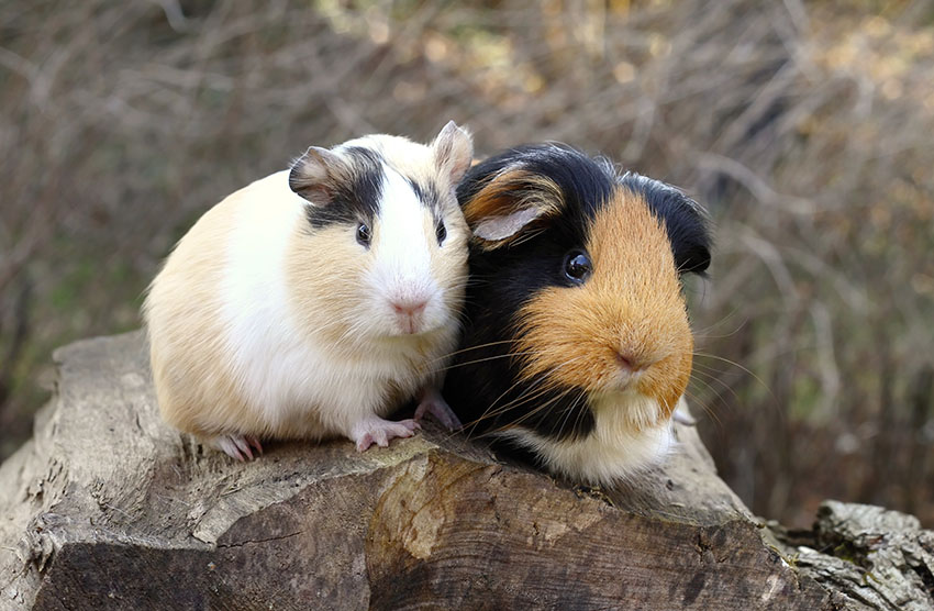 Guinea pigs out in the open