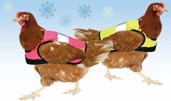Hühner im Winter mit Warnweste