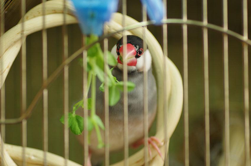 Java sparrow food