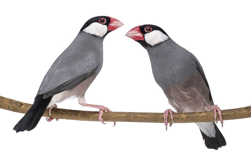 Java sparrow pair