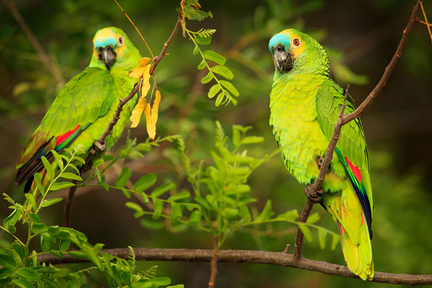Blue-fronted Amazon or Turquoise fronted parrot