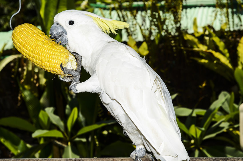 Sulfur-crested Cockatoo feeding on sweetcorn