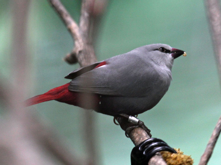 Lavender waxbill with leg ring