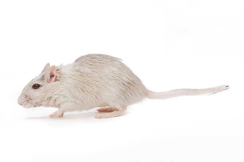 male or female gerbil