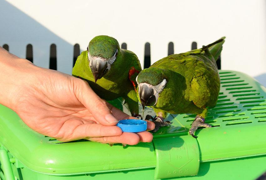 Hahn's macaws