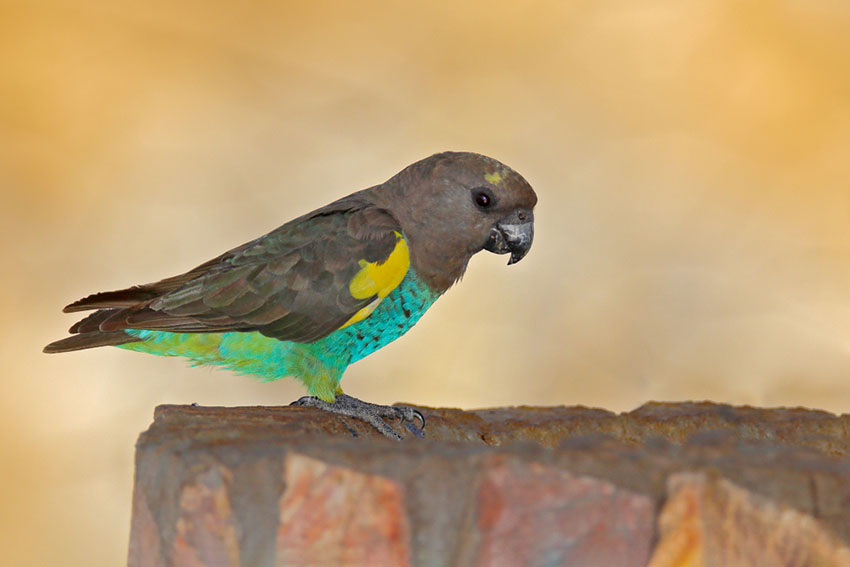 A Meyer's Parrot taking a drink in its outdoor aviary