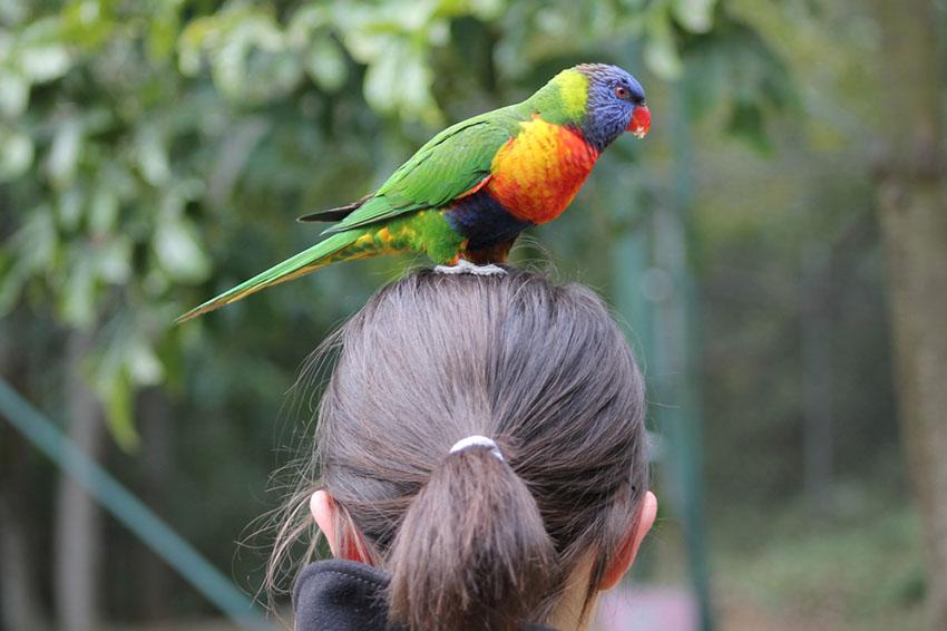 Rainbow Lorikeet on girl's head