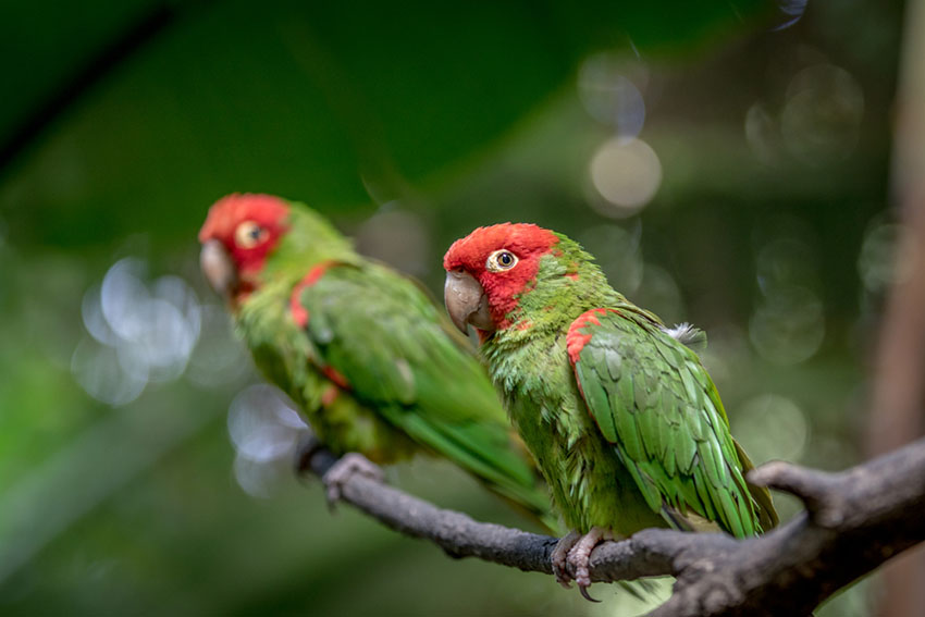 Red-headed Conure