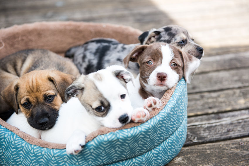 Mixed breed puppies in basket terrier mix mutts