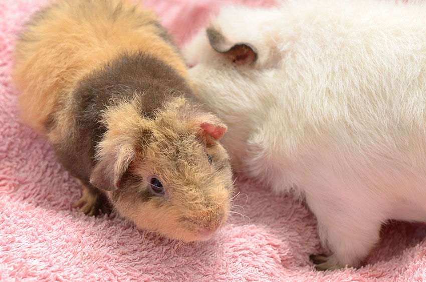 Can You Put A Baby Guinea Pig In With An Older One? | Making