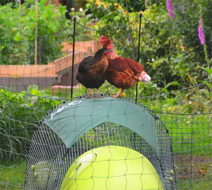 Omlet Chicken Fencing and Chickens