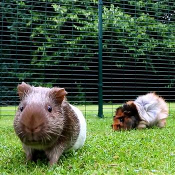 happy guinea pigs