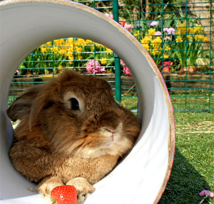 A rabbit lying in a tube in the Outdoor Rabbit Run