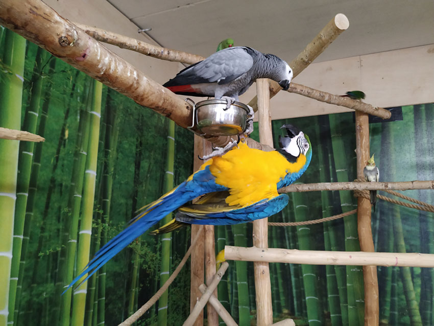 African Grey and Blue and yellow macaw