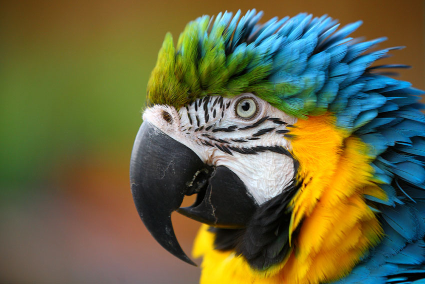 Blue and yellow macaw talking