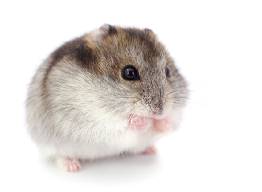 hamster name meaning