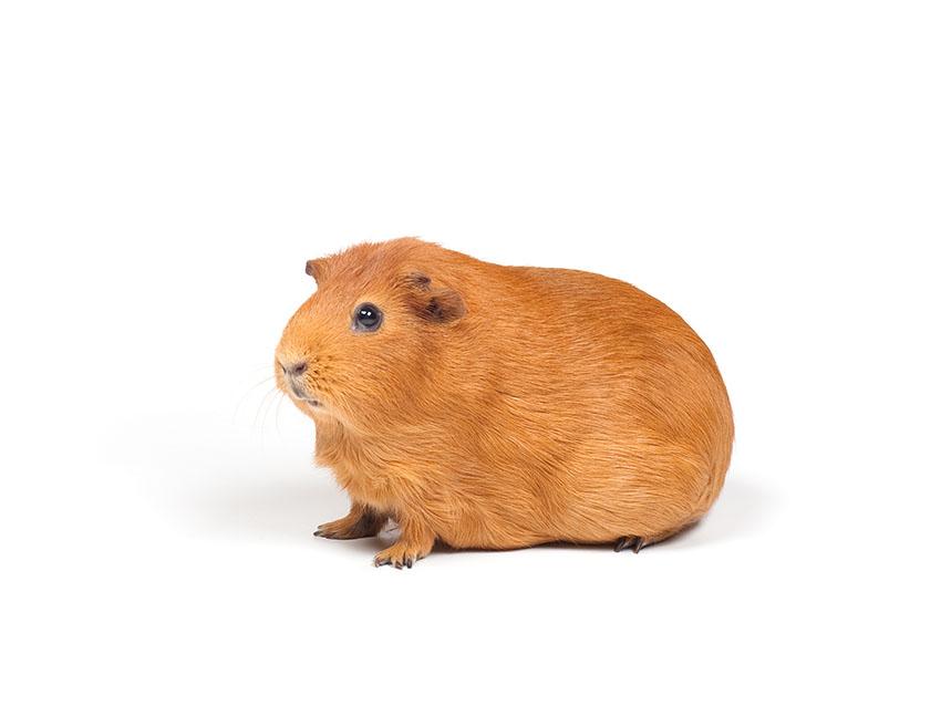 Self guinea pig