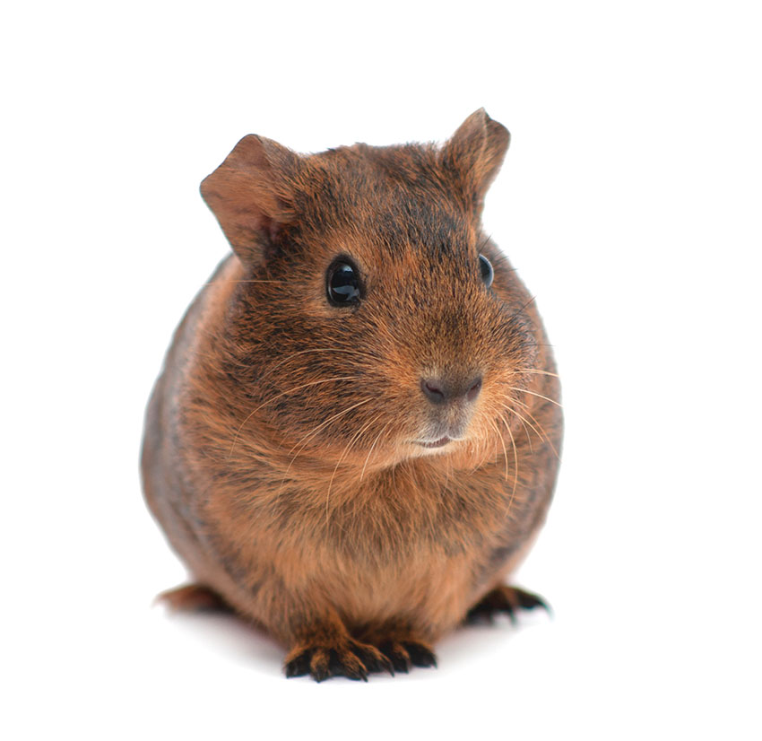 Short-haired guinea pig
