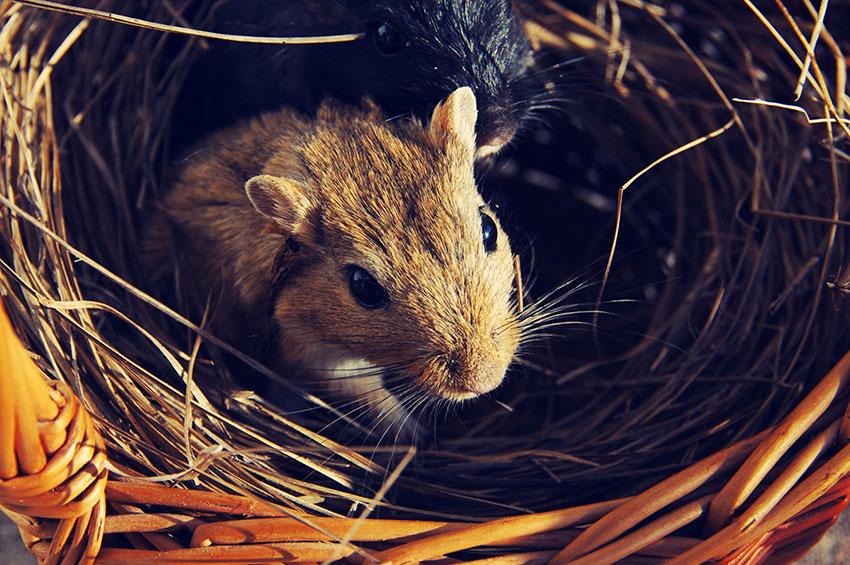 Should Gerbils Have Hay? | Housing Gerbils | Gerbils | Guide