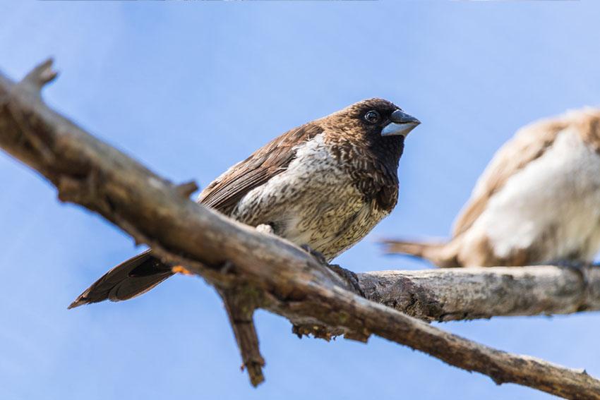 Society finches in aviary