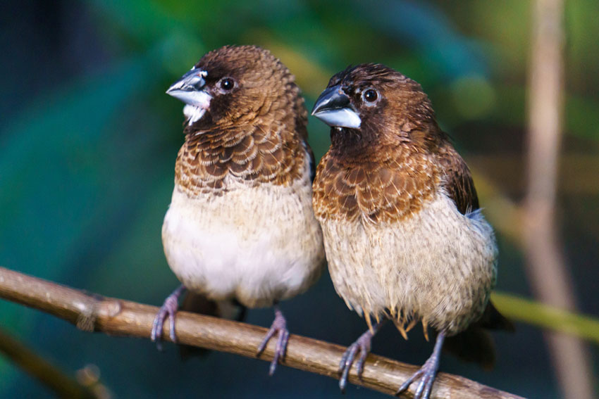 Bengalese Finches