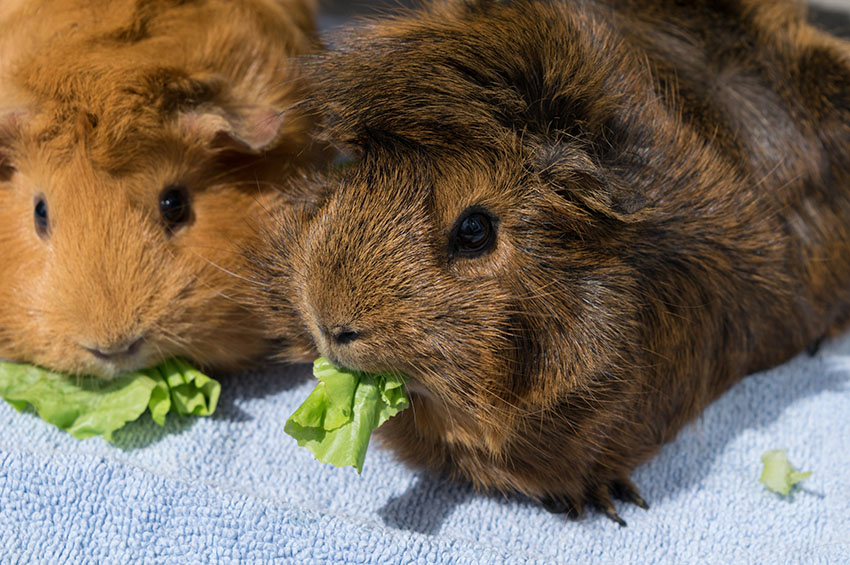 What Are Guinea Pigs' Favourite Foods? | Feeding Guinea Pigs