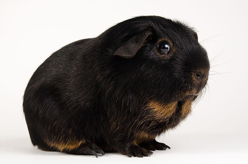 Tan guinea pig