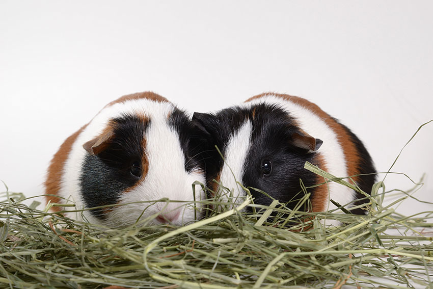 Tortoise and white guinea pigs