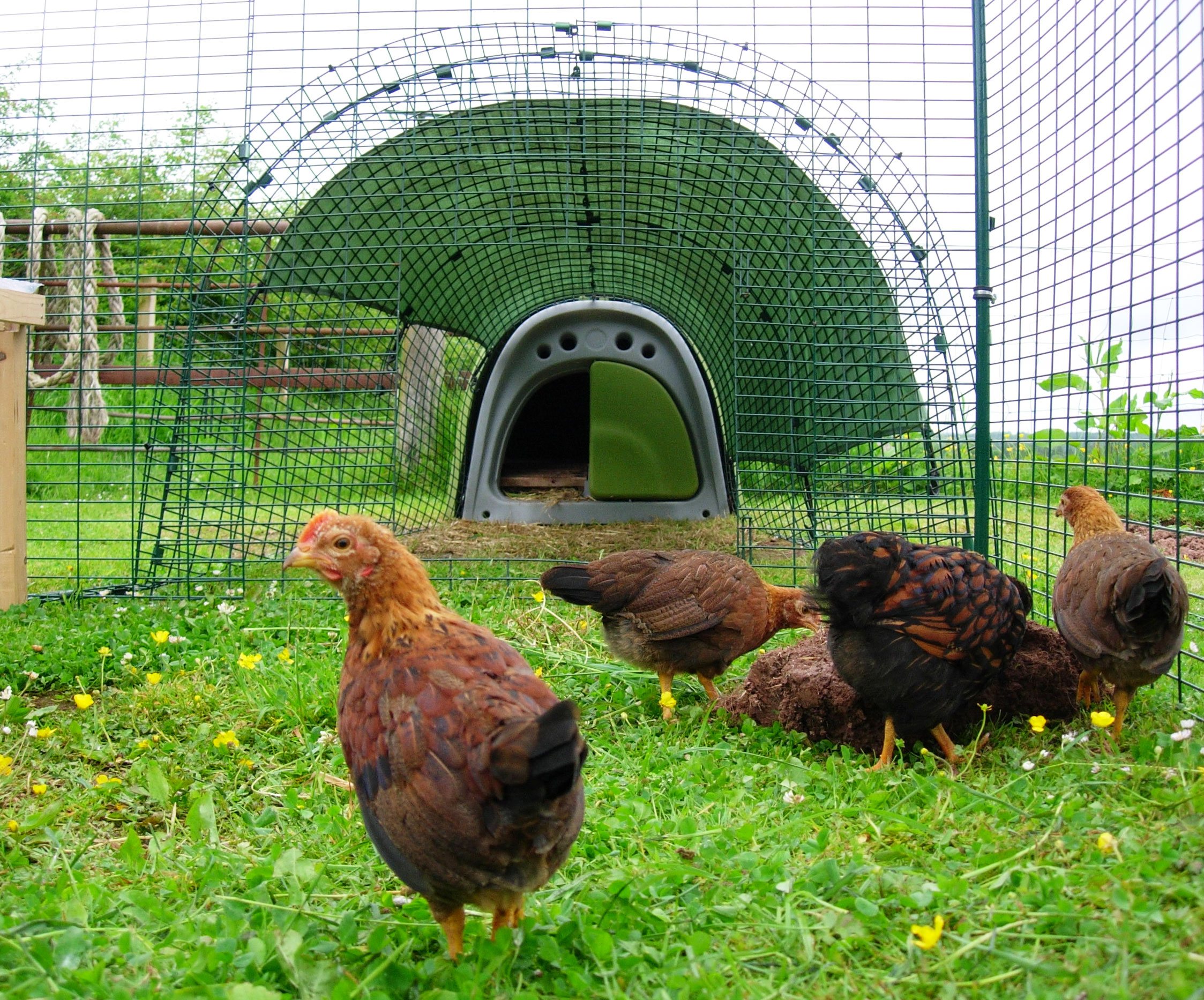 Jilly Graham's hens love being let out to explore the garden but know they need to go back in at night
