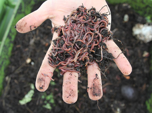 A_handful_of_worms_ready_for_the_compost_pile